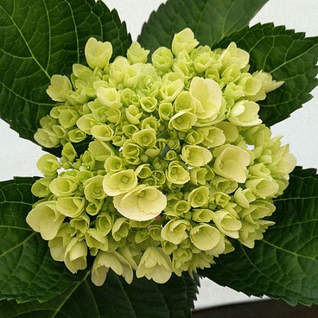 Hydrangea Mini White Green