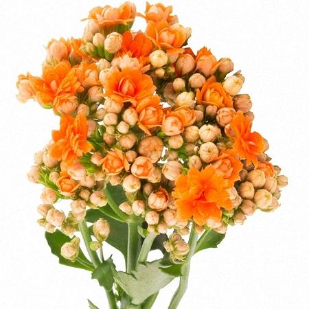 Kalanchoe Orange