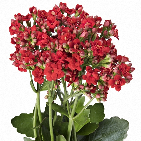 Kalanchoe Red