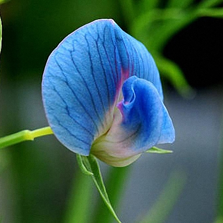 Sweet Pea King Tut