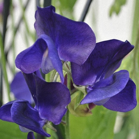 Sweet Pea Royal Navy