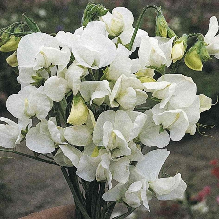 Sweet Pea Royal White