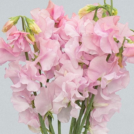 Sweet Pea Light Pink