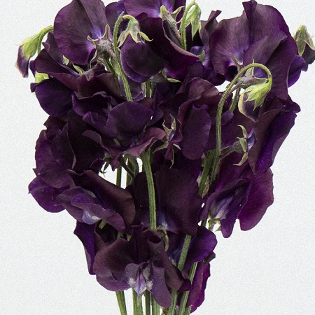 Sweet Pea Purple
