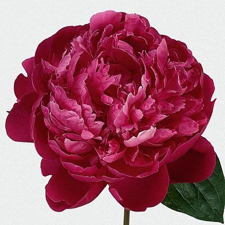 Peony Red Sarah Bernhardt