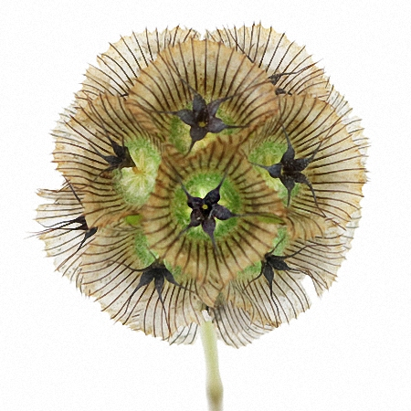 Scabiosa Seed Pods