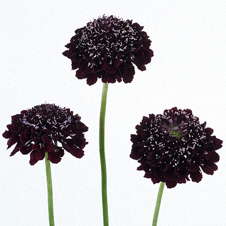 Scabiosa Blackberry Scoop