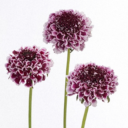 Scabiosa Cherry Vanilla Scoop