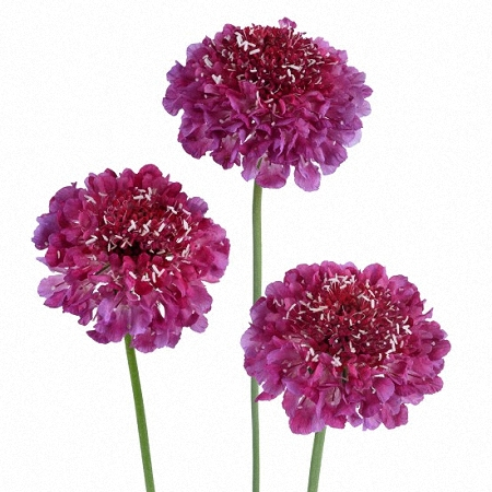 Scabiosa Lollipop Scoop
