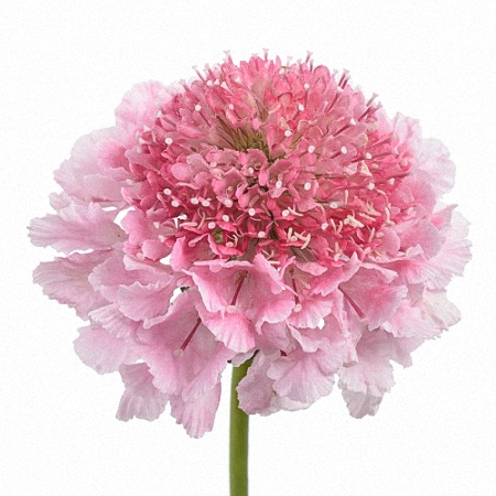 Scabiosa Marshmallow Scoop