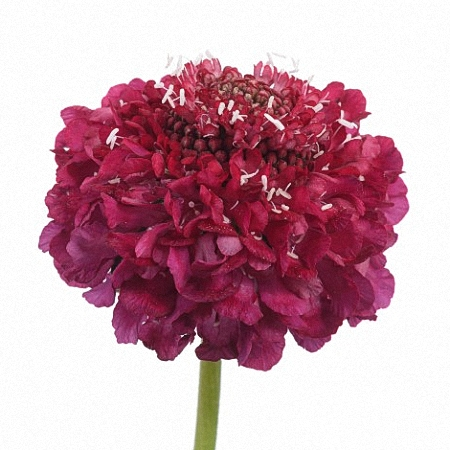 Scabiosa Raspberry Scoop
