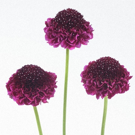 Scabiosa Red Velvet Scoop