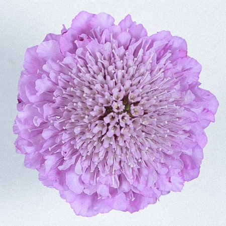 Scabiosa Soft Scoop