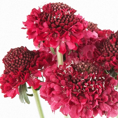 Scabiosa Strawberry Scoop