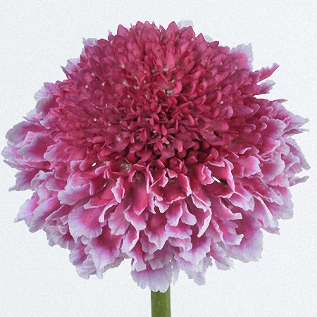 Scabiosa Sweet Scoop