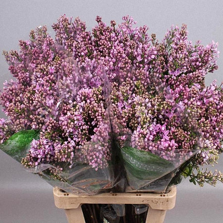 Lilac Dark Koster *4buds/stem*