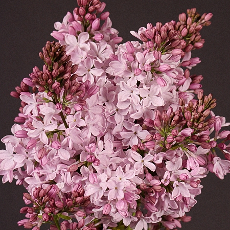 Lilac Esther Staley *4buds/stem*