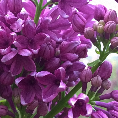 Lilac G.J. Baardse *4buds/stem*