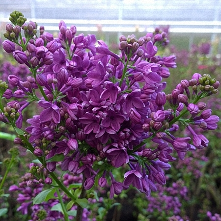 Lilac G.J. Baardse *2buds/stem*