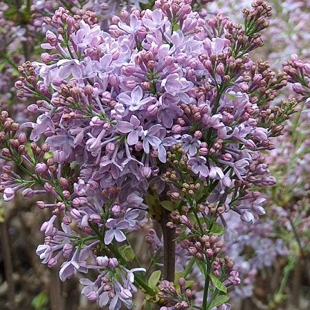 Lilac Hugo Koster *2buds/stem*