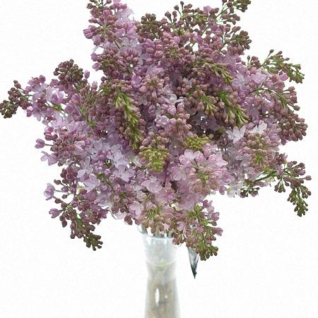 Lilac Lavaliensis *4buds/stem*