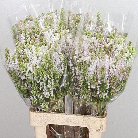 Lilac Lila Wonder *4buds/stem*