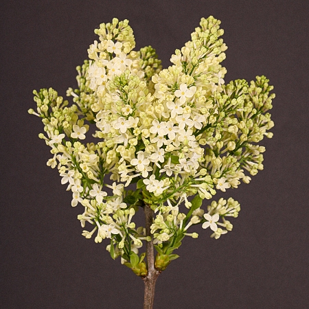 Lilac Lucie Baltet *2buds/stem*