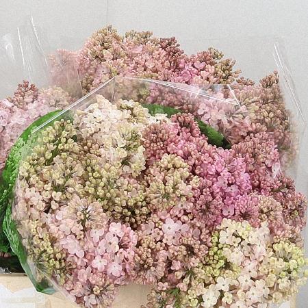 Lilac Maidens Blush *4buds/stem*