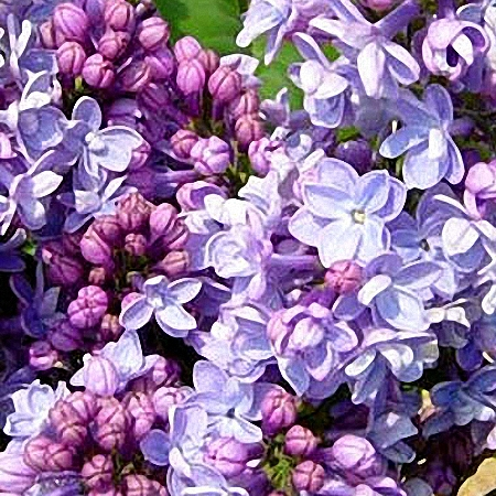 Lilac Michel Buchner *2buds/stem*