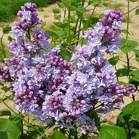Lilac Michel Buchner *4buds/stem*