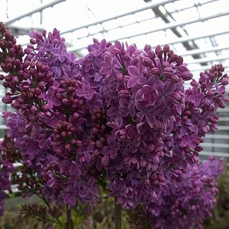 Lilac Ruhm von Horst. *2buds/stem*