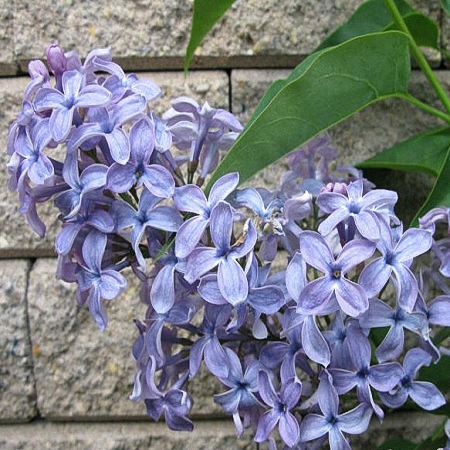 Lilac Wedgwood *4buds/stem*