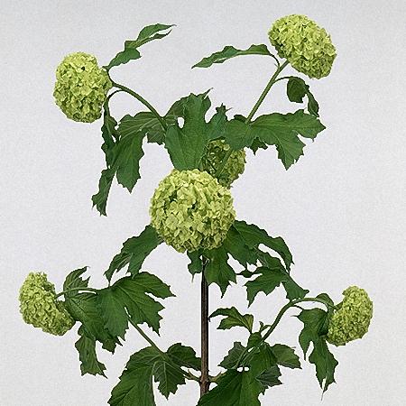 Viburnum 6buds/stem