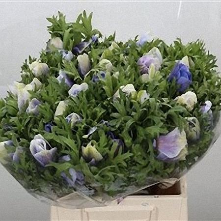 Anemone Azzurro