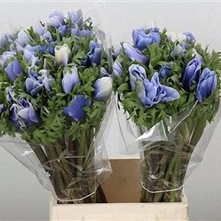 Anemone Blue Celeste