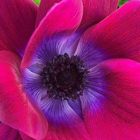 Anemone Mistral Magenta