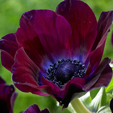 Anemone Mistral Purple