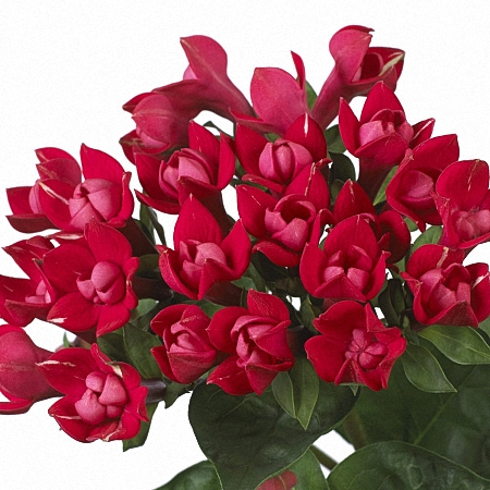 Bouvardia Crimson