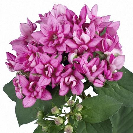 Bouvardia Lilac
