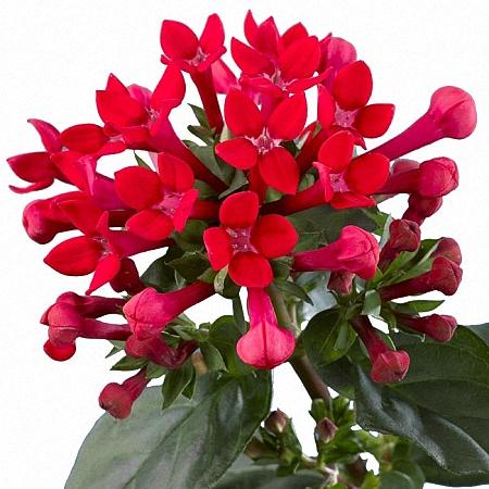 Bouvardia Daphne Red