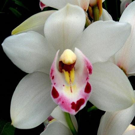 Mini Cymbidium Rhap Flor
