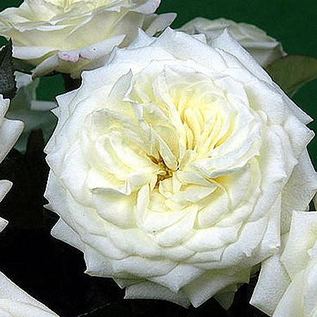 Garden Rose Alabaster
