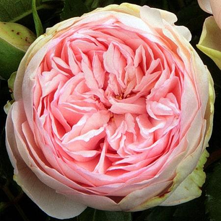 Garden Rose Bridal Piano