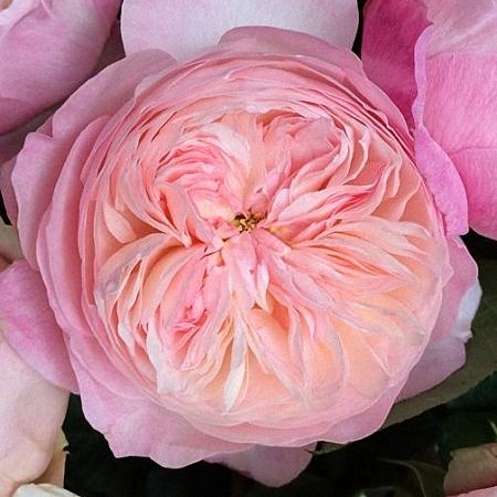 Garden Rose Constance DA