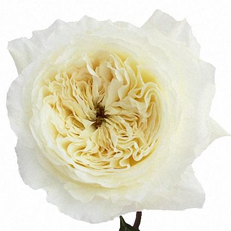 Garden Rose Patience DA