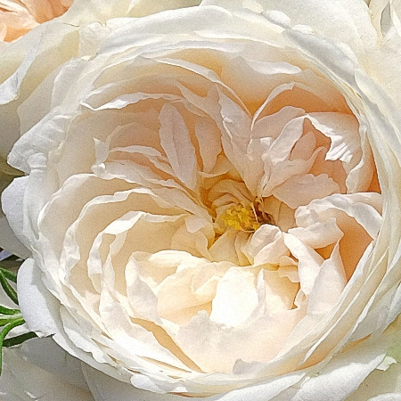 Garden Rose Purity DA