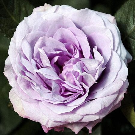 Garden Rose Lavender Bouquet