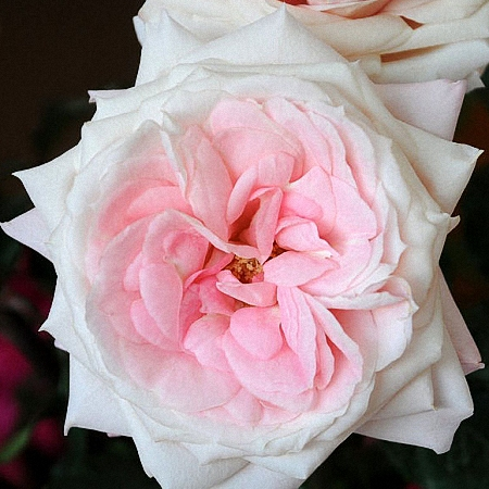 Garden Rose Mayra\'s Bridal Pink