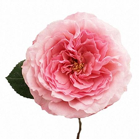Garden Rose Mayra\'s Rose