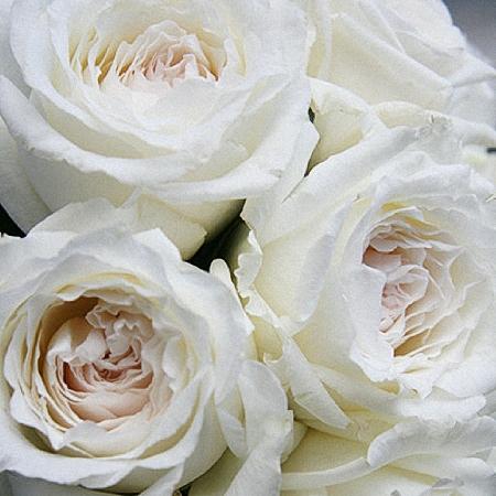 Garden Rose Princess Miyuki